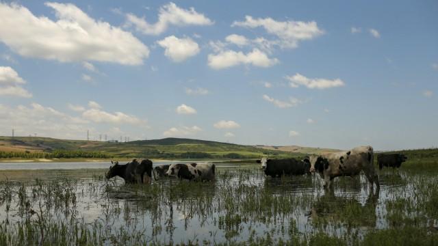 Istanbul: In der Nähe der Baustelle für die Brücke schauen Kühe beim Wasser vorbei.