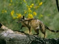 Artenschutz: Australiens giftiger Kampf gegen Katzen