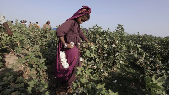 Laali, 11, holds a bloom of cotton plucked from a plant while working with her family in a field in Meeran Pur village, north of Karachi