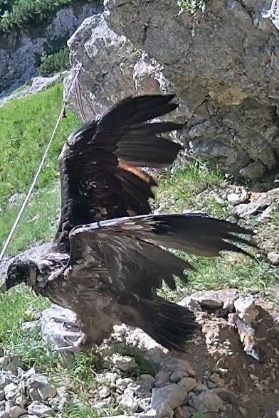 SZ-Serie: Vogelwuid: Wally beim Flügelschlagen. Erst wenn junge Bartgeier sicher 200 Flügelschläge am Tag schaffen, sind sie bereit für den Jungfernflug. Screenshot: LBV-Bartgeierwebcam