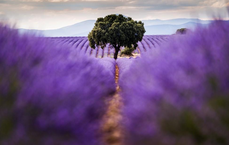 Lavendelfelder in Spanien