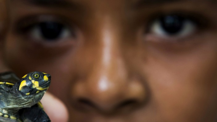 A boy holds up a quelonio turtle hatchling before it is released, by members of the Pe-de-Pincha project, into a lake of the Momari community in the Amazon municipality Careiro