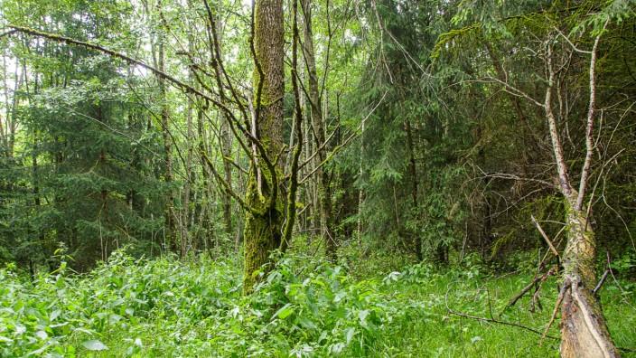 Mammendorf: Zum Laichen wandern die Amphibien zu den Teichen der nahegelegenen Kiesgrube. In der übrigen Zeit finden sie im Wald ideale Bedingungen.