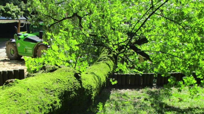 Augsburg: Der Ahornbaum ist offenkundig völlig unvermittelt knapp über dem Boden abgebrochen.