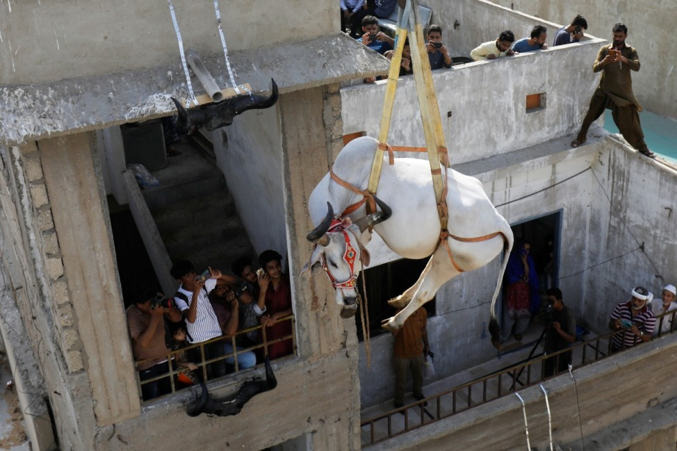Sacrificial cow is lowered from a rooftop by crane, ahead of the Eid al-Adha festival in Karachi