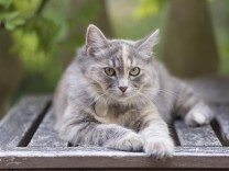 Siberian forest cat Felis catus grey ginger and white female kitten age 7 months resting in g