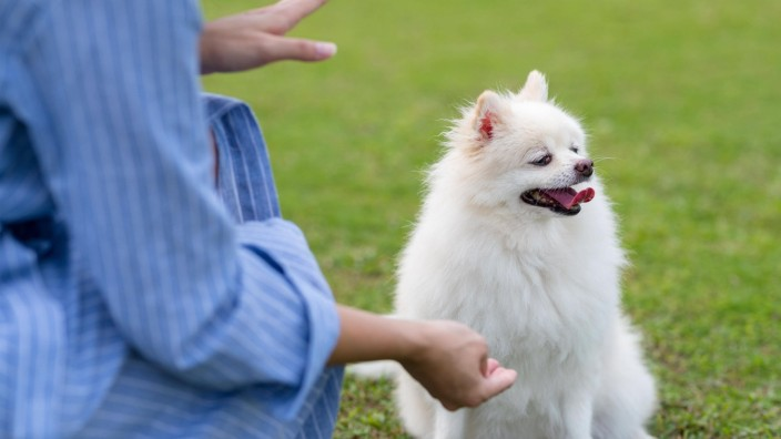 Woman train with white pomeranian dog in the park Copyright: xleungchopanx Panthermedia27340007