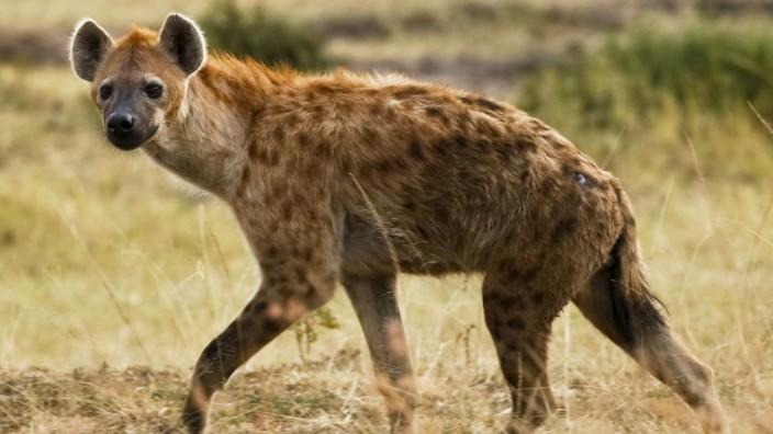 Islamisten erlauben Verzehr von Hyänenfleisch in Somalia