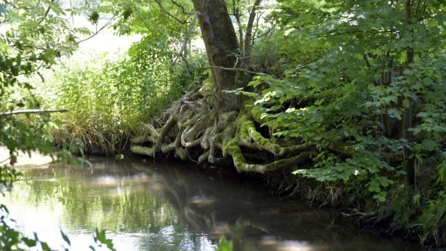 Naturschutz: Schwarzerlen säumen die Ufer und spenden dem Bach Schatten.
