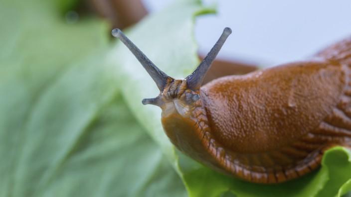 Eine Nacktschnecke im Garten frißt ein Salatblatt. Schneckenplage im Garten
