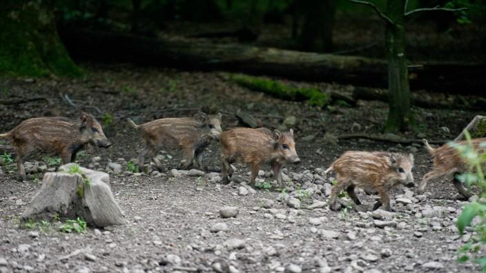 Mitten im Forst: Junge Wildschweine, am Dienstag unweit vom Forsthaus Diana bei Kirchseeon unterwegs.