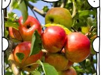 "SZ-Kolumne ""Bester Dinge"": Äpfel für alle!"