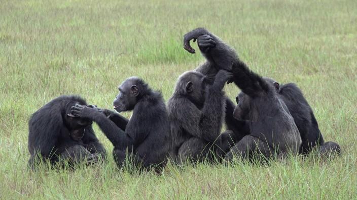 Primatenforschung: Freundlich zu Artgenossen, gefährlich für andere Tiere: Die Schimpansen Thea, Roxy, Freddy, Chenge und Pandi bei der Fellpflege