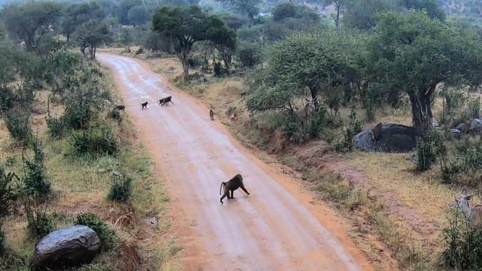 Paviane wandern