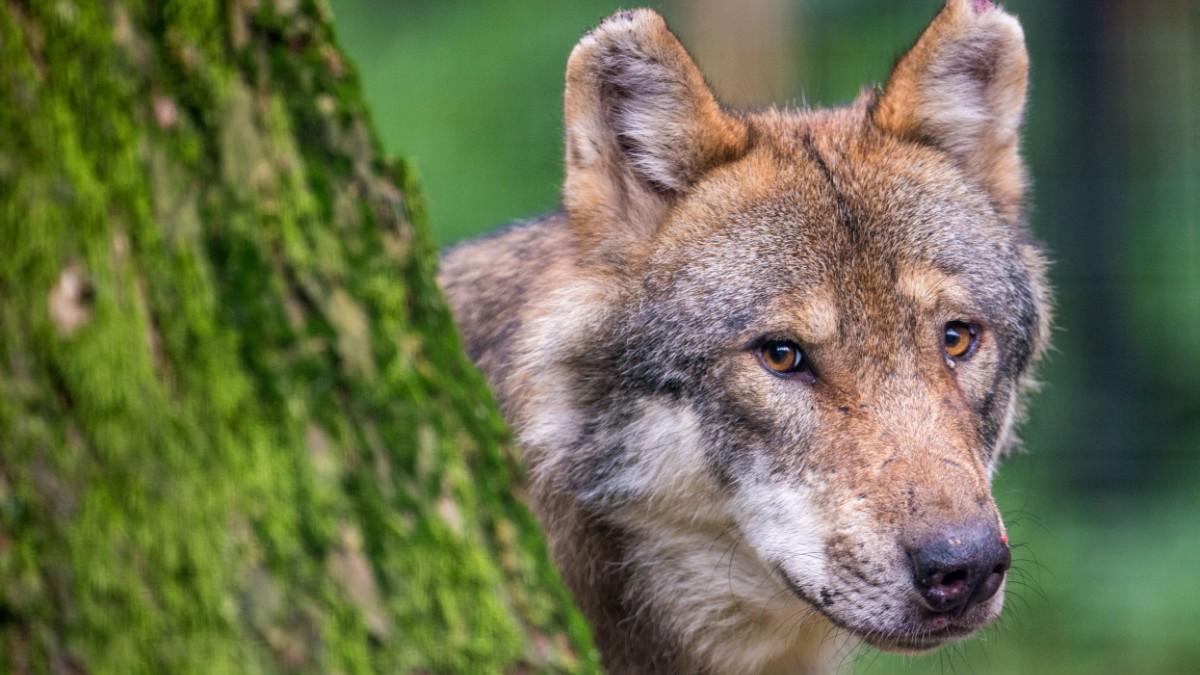 Bayern: Kaniber will Abschuss von Wölfen erleichtern