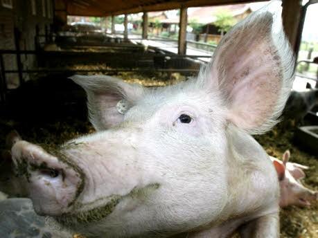 schwein, ddp