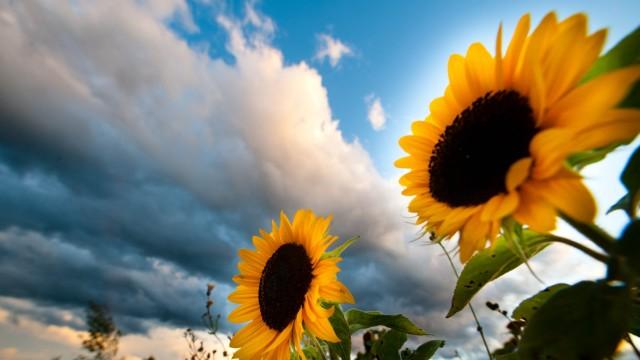 Forschung: Sonnenblumen, selbstverständlich lässt sich auch ihr Wachstum dokumentieren.