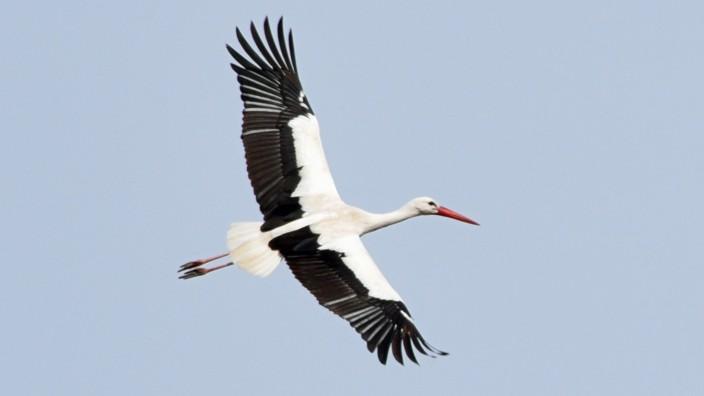 Storch in Raisting