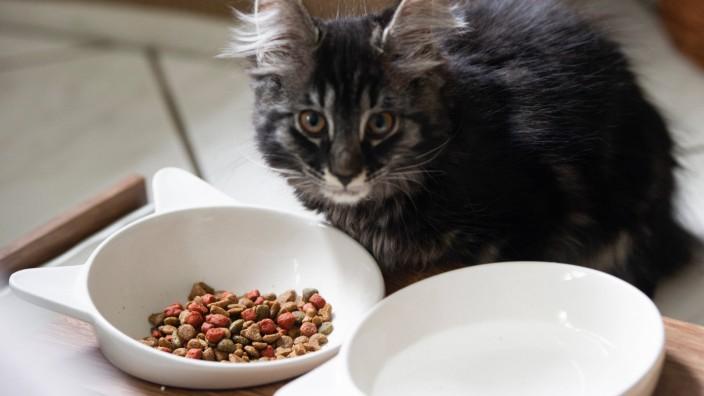 Die 12-Wochen alten Maine Coon-Mix Katzenbabys leben sich in ihrem neuen Zuhause ein. Fotografiert am Sonntag (14.06.202