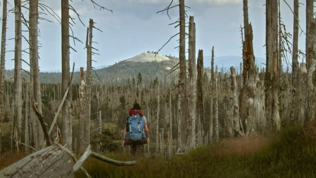 """Fünfseen-Filmfestival: Bleiche Stangen statt Bäume: Filmemacherin Lisa Eder zeigt in ihrer Doku """"Der wilde Wald"""" ein von Borkenkäfern befallenes Areal rund um den Lusen im Nationalpark Bayerischer Wald."""
