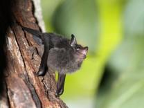 Spracherwerb: Fledermäuse lernen Sprache wie Kleinkinder