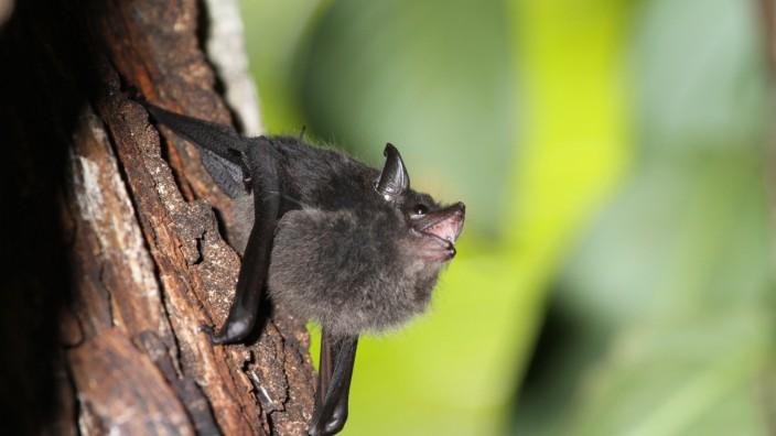 Dossier: Spracherwerb:Fledermaus-Jungtiere babbeln wie Babys