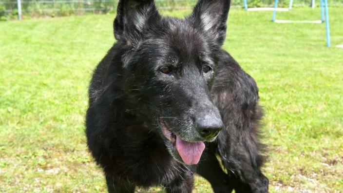 Tierschutz in Ebersberg: Schäferhündin Nelly muss nicht noch einmal umziehen, sie darf bis zum Ende ihrer Tage in der Auffangstation bleiben.