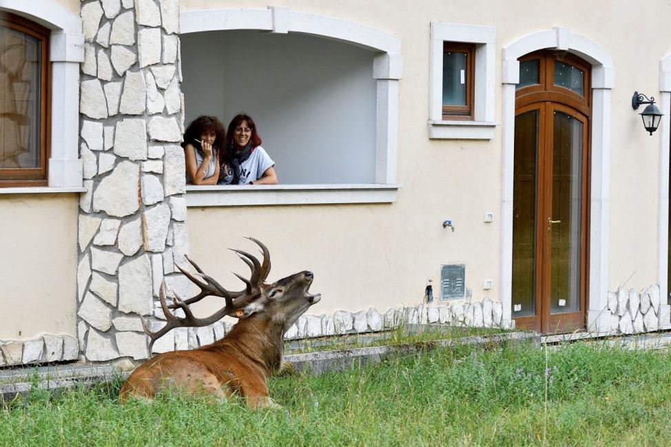 Wild stags in the inhabited center of Villetta Barrea