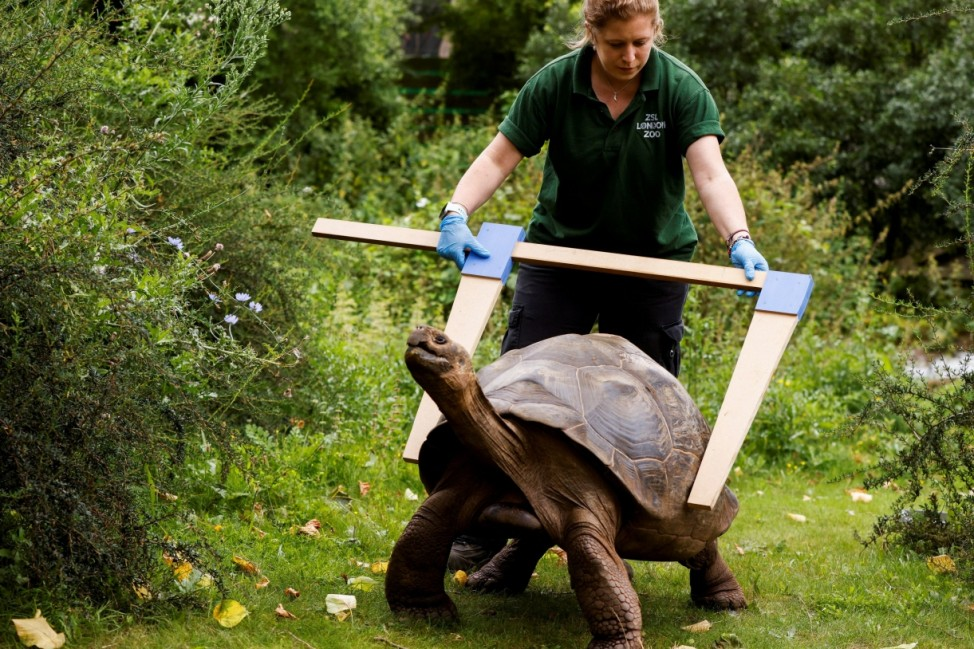Zookeeper Charli Ellis measures the shell of Polly, a Galapagos tortoise, at ZSL London Zoo in London