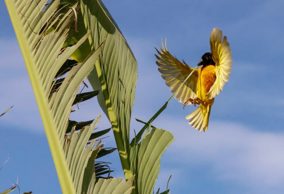 A Village Weaver (Black-headed Weaver) pulls a strip of leaf from a banana tree to build a nest in Thies