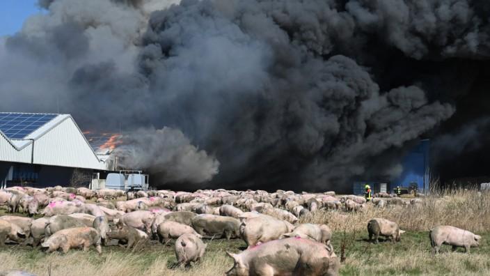 Bei dem Feuer in einem großen Schweinezuchtbetrieb in Alt Tellin am 30. März 2021 verbrannten mehr als 50 000 Schweine und Ferkel.