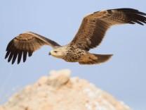Artenvielfalt: Fast jede dritte Raubvogelart weltweit bedroht