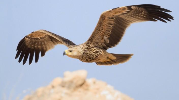 Östlicher Kaiseradler Aquila heliaca Jungtier im Flug Dhofar Oman Asien *** Eastern Imperial E; Georgien