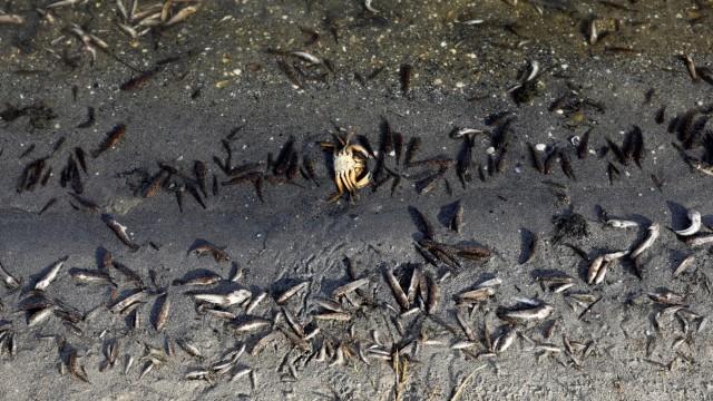 Dead fish on the shores of Murcia's Mar Menor