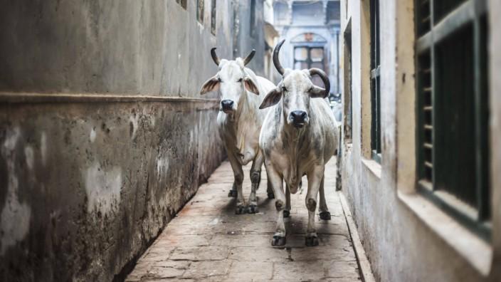 Cows on the streets of Varanasi, Uttar Pradesh, India MatthewxWilliams-Ellis YESPLEASE 1051_rf_24_mwe_18704