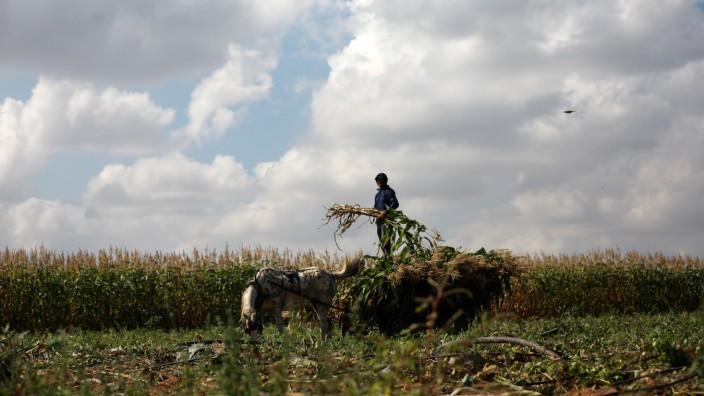 Palestinian Farmers Harvest Watermelon A Palestinian farmer harvests corn at a field in the town of Beit Lahia in the no