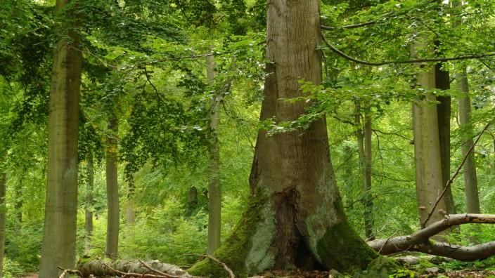 Unesco-Welterbe in Deutschland: Der Wald im Nationalpark befindet sich in derselben Unesco-Kategorie wie die Galapagos-Inseln oder das Great Barrier Reef.