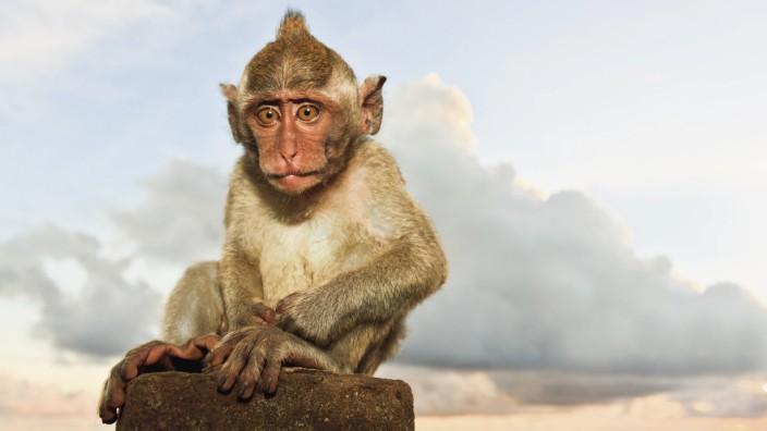 Indonesia Bali Island Bukit peninsula Monkey sitting on stone PUBLICATIONxINxGERxSUIxAUTxHUNxONLY