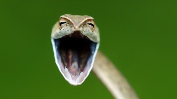Comedy Wildlife Photography Awards: Ob diese Nasen-Peitschennatter, die der indische Fotograf Aditya Kshirsagar im richtigen Moment erwischt hat, gerade einen Witz erzählt und selber drüber lacht? Zum Beispiel den hier: Was ist eine Brillenschlange ohne Brille? Eine Blindschleiche!