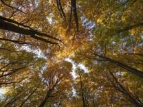 Erderwärmung: Eine Buche, um den Wald zu retten
