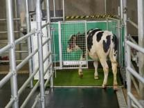 Tierpsychologie: Kühe auf dem Klo