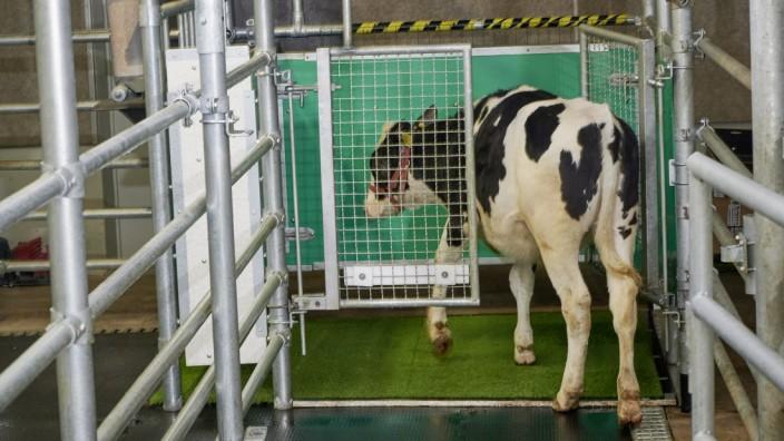 Tierpsychologie: Einmal für kleine Kühe gehen: Latrine für Kälber.
