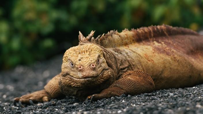 Female Galapagos land iguana laying down in a bed of lava sand Santa Cruz, Islas Galápagos, Ecuador PUBLICATIONxINxGERxS