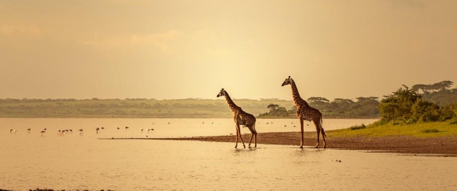 Giraffes in Golden Light of Africa on Water Ngorongoro, Arusha Region, Tanzania PUBLICATIONxINxGERxSUIxAUTxONLY CR_HIEO2