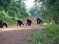 Artenschutz: Straßenbau tötet Schimpansen