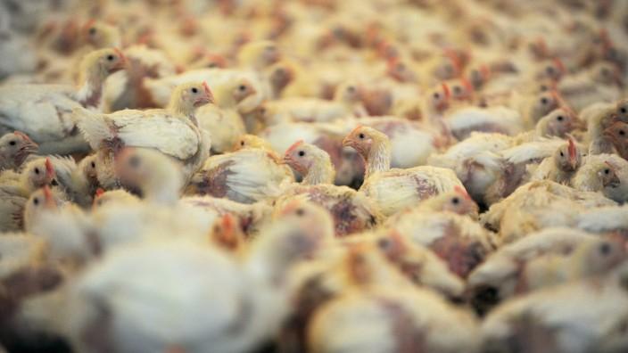 Antibiotika in der Nutztierhaltung
