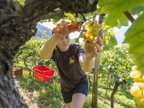 Weinlese Vorberg Terlan; Terlan Weinbau
