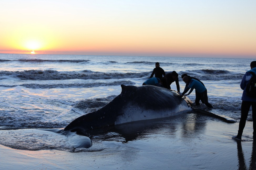 Rescuers save a stranded beached humpback whale in Argentina