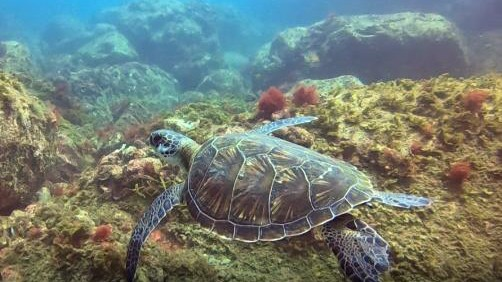 Gefährdete Grüne Meeresschildkröte gefunden