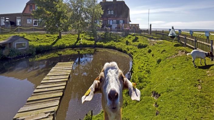 Hausziege, Haus-Ziege (Capra hircus, Capra aegagrus f. hircus), Fething auf der Hallig Suedfall, Deutschland, Schleswig-